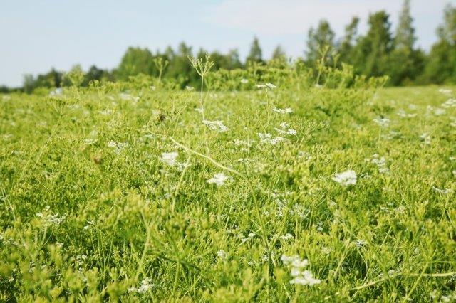 Erikoiskasvien viljelyala vähentynyt