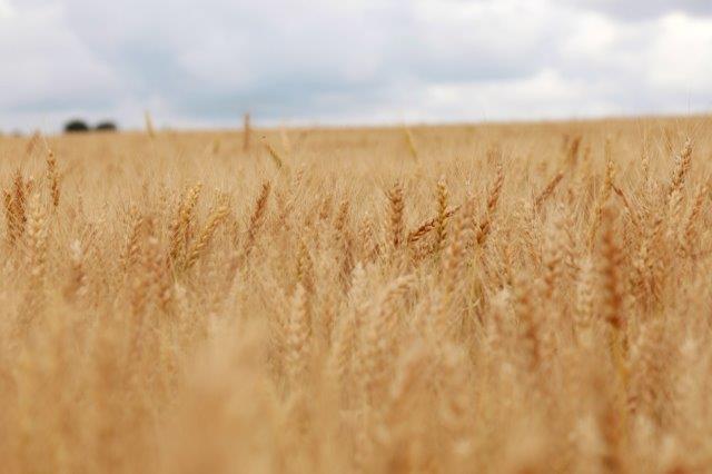 Virossa viljakaupoilla