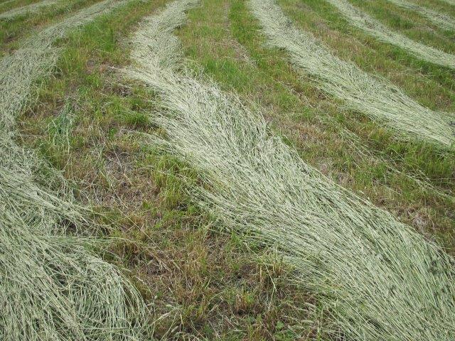 Kesän kuivuus aiheuttanee puutetta rehusta
