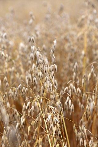 Luomuviljan tuotanto kasvaa - kasvaako kysyntä?