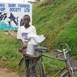 Ugandassa maito viedään pyörän tarakalla maito-osuuskuntaan.