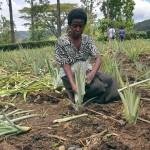 Kun uutta ananaskasvustoa istutetaan, vanhasta leikataan irti pistokas, joka juurtuu maahan ja tuottaa satoa noin vuoden kuluttua.