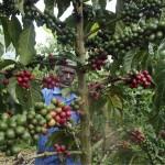 Kahvi on Ugandan päävientituote.