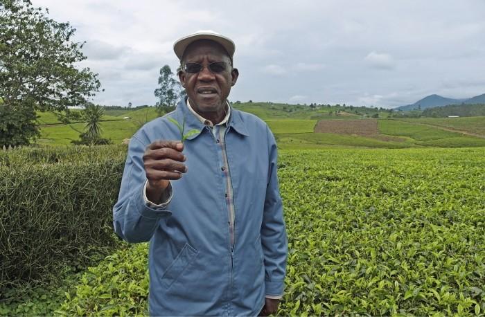 Kabeihura Farmers Oy:n 100 hehtaarin maatilalla viljellään teetä lähes 30 hehtaarilla. Teekasvusto tuottaa satoa useita kymmeniä vuosia, ja sato kerätään taittamalla kasvin ylimmät lehdet käsityönä pussiin, tilan omistaja Eriyabu Muhozi kertoo. Yhdestä käsityönä poimitusta teekilosta työntekijä saa palkkaa vajaat 3,5 senttiä.