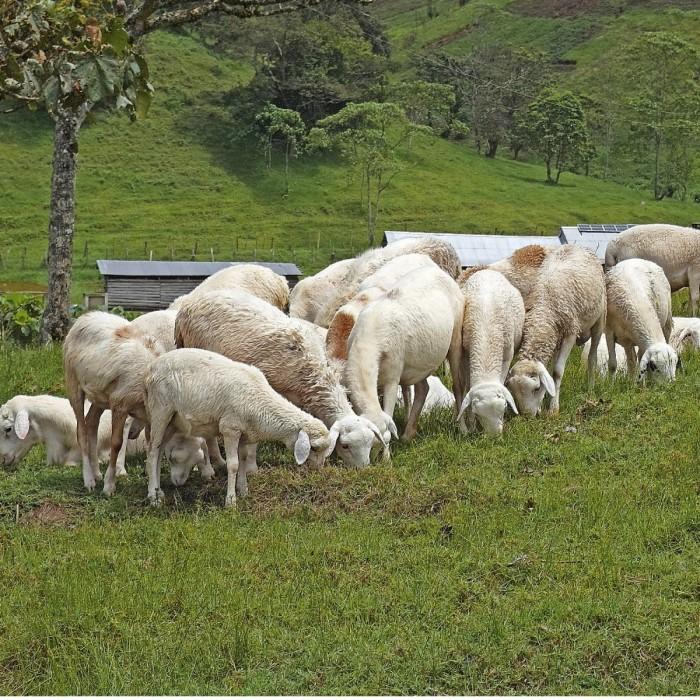 Ugandassa syödään paljon vuohenlihaa. Kabeihura Farmers Oy:n lampaat ja vuohet laiduntavat henkeä salpaavan kauniissa maisemissa.
