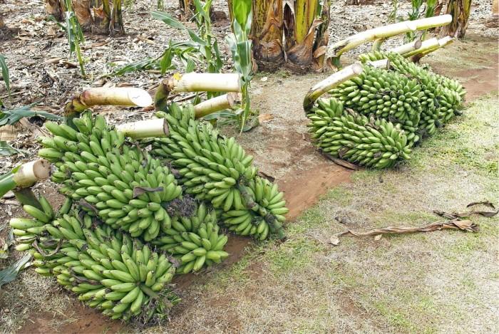 Matooken eli ruokabanaanin (kuvassa) lisäksi Ugandassa kasvatetaan makeaa- ja olutbanaania. Matooke on hyvin yleinen ruokalaji Ugandassa, ja sitä voi verrata suomalaiseen perunamuusiin.