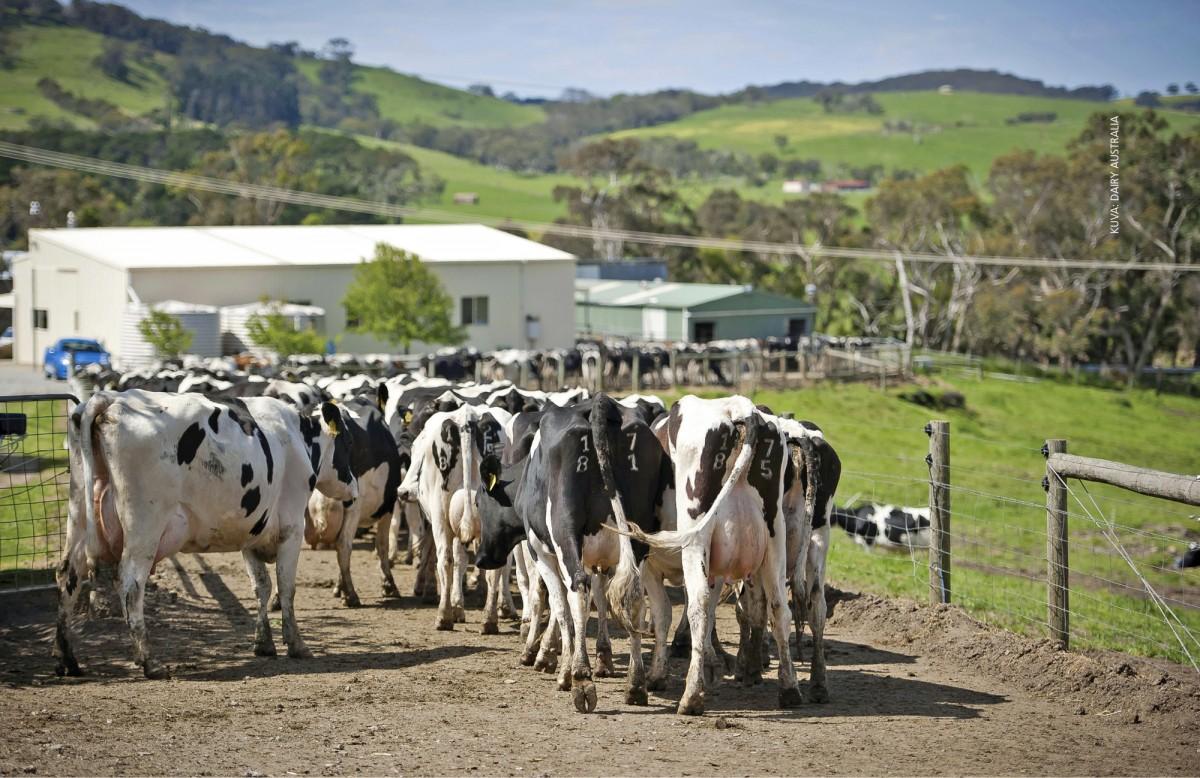 Aiemmin pelkkään laitumeen perustunut maidontuotanto on voimakkaassa muutoksessa eteläisellä pallonpuoliskolla. Useimmilla australialaisilla maitotiloilla tuotanto on nyt edullisten ja tehokkaiden tuotantotapojen yhdistelmä, jossa laidunruokintaa täydennetään viljalla.
