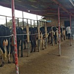 Tilan navetassa on avoseinäinen lypsyasema, johon lehmät kerätään lypsylle kahdesti päivässä. Lehmät lypsetään käsin, kun vasikat ovat ensin imeneet maitoa.