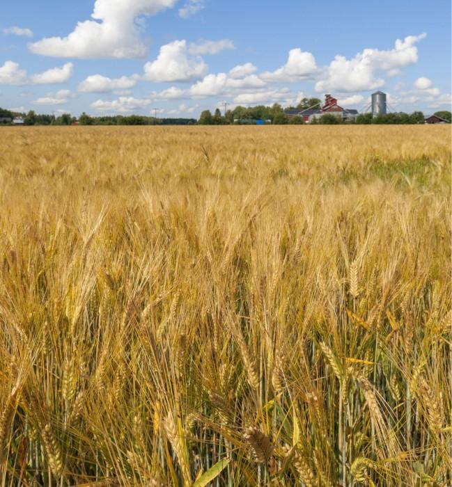 Maassamme vuosittain tuotettavalle neljälle miljoonalle viljatonnille löytyy nykyään varastot maatiloilta. Pitkään ylivuotiseen varastointiin tilat eivät sen sijaan riitä. Ennen seuraavaa sadonkorjuuta merkittävä osa edellisen vuoden sadosta on päädyttävä markkinoille.