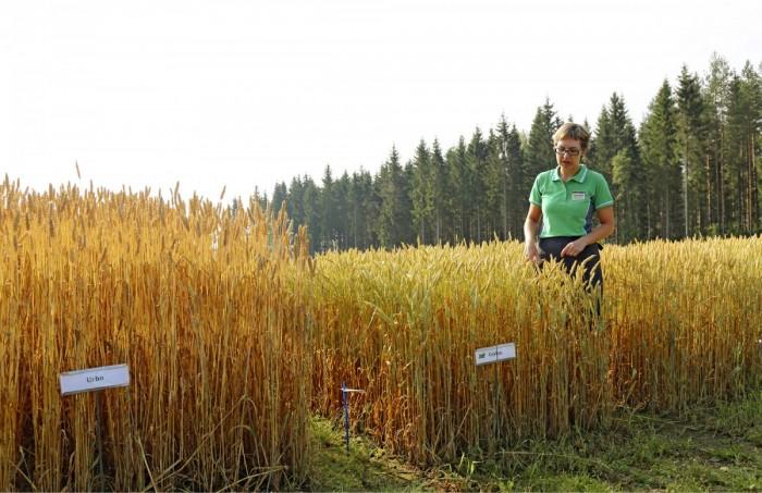 Koetilan tutkimusjohtaja Marjo Serenius esitteli syysvehnän lajikekokeita, jotka tehdään ilman kasvunsäädettä. Pituuserot ovatkin hyvin nähtävissä. Vasemmalla Urho ja oikealla SW:n uutuuslajike Ceylon.