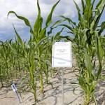 Suomessa kasvaa maailman pohjoisimmat maissit. Aikainen Activate on viljellyin lajike. Bernerin osastolla esiteltiin maissin kylvöä biohajoavaan muoviin. Menetelmä on yleinen Irlannissa, ja se nopeuttaa kasvua kahdella viikolla. Kalvon alla lämpötila on keskimäärin 14 astetta korkeampi kuin paljaan taivaan alla. Suomeen on hankittu myös ensimmäiset maissin tarkkuuskylvökoneet, joilla on urakoitu useamman tilan maissit. Sama kone vetää muovin, kylvää siemenen ja levittää lannoitteen. Kuvan suuret maissit ovat kasvaneet muovin alla ja pienet ilman. Berner esitteli myös maissin rikkakasvintorjuntaa.