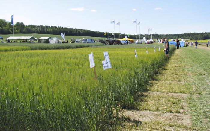 Lajikkeista on rinnakkain sekä käsittelemätön että kasvinsuojeluainein käsitelty ruutu.