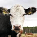 Paikalla ovat myös lihanaudantuotannon erikoisosaajat ja uusin tieto siitä, millaiset ovat hyvät laitumet ja miten ne takaavat hyvän tuloksen naudanlihantuotannossa.