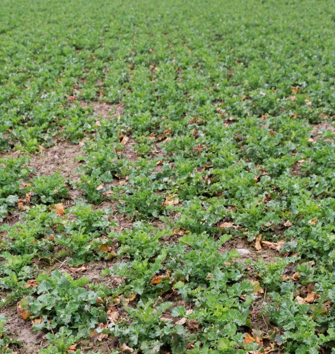 Harvassa kasvaneen rapsin juuri on voimakas ja lehtiä on enemmän kuin tiheässä kasvaneella. 15 tainta neliöllä riittää, kunhan taimet ovat pellolla tasaisesti.