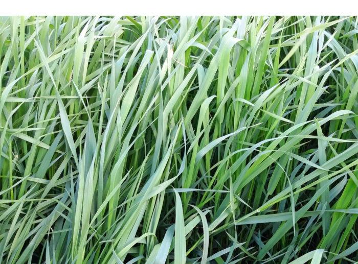 Korjattaessa suuria nurmisatoja, pitää myös lannoitukseen kiinnittää  huomiota entistä tarkemmin. Nurmien hivenlannoituksesta tarvitaan  lisää tutkimustietoa.