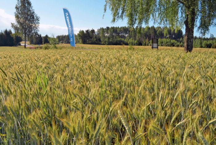 Uusi kevätruisvehnälajike Nagano sopii uuden nurmen suojakasviksi tai seoskasvustoon. Viljelykokemukset viime kesältä olivat varsin positiiviset. Kasvustot pysyivät hyvin pystyssä lujakortisen lajikkeen ansiosta. Kasvinsuojelussa Naganolle riittää rittää rikkakasvien torjunta.