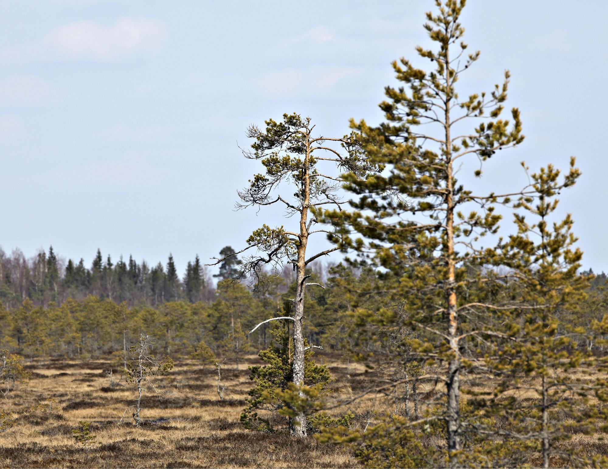 Suomi on metsäojituksen suurvalta